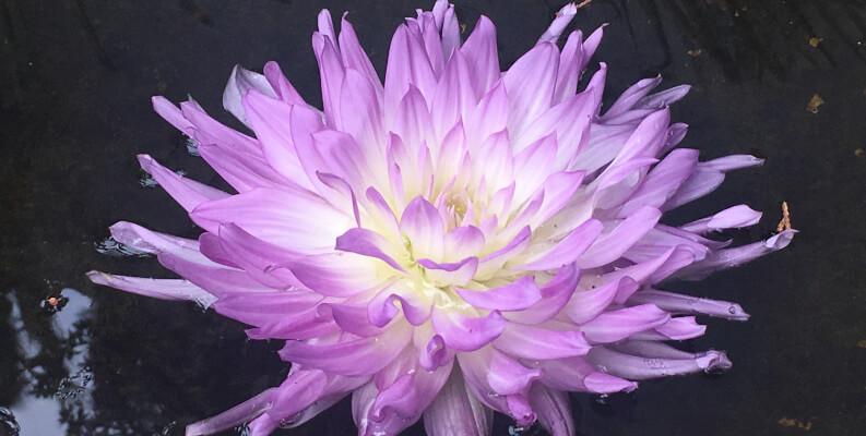 Violettfarbene Bluete im Wasser